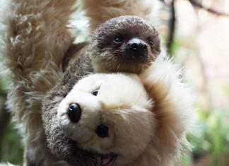 Мягкая игрушка заменила ленивцу мать