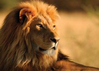 Львы исчезают