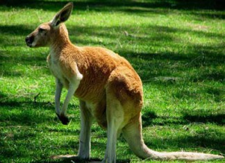 австралийка устроила приют для кенгуру у себя дома