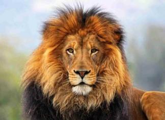 Лев навел переполох на улицах Дубая
