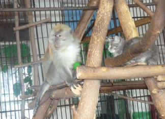 в Омской области подружились кошка Муся и обезьяна Кузя