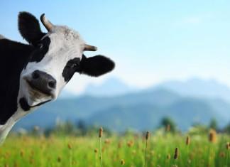 корова в погребе