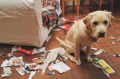 Поведение собаки, которую застали за пакостью