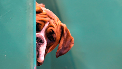 Насколько собака любопытна в новой обстановке