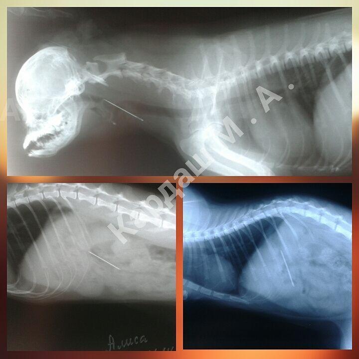 Три разных кота, на рентгеновских снимках которых видны проглоченные ими швейные иглы.