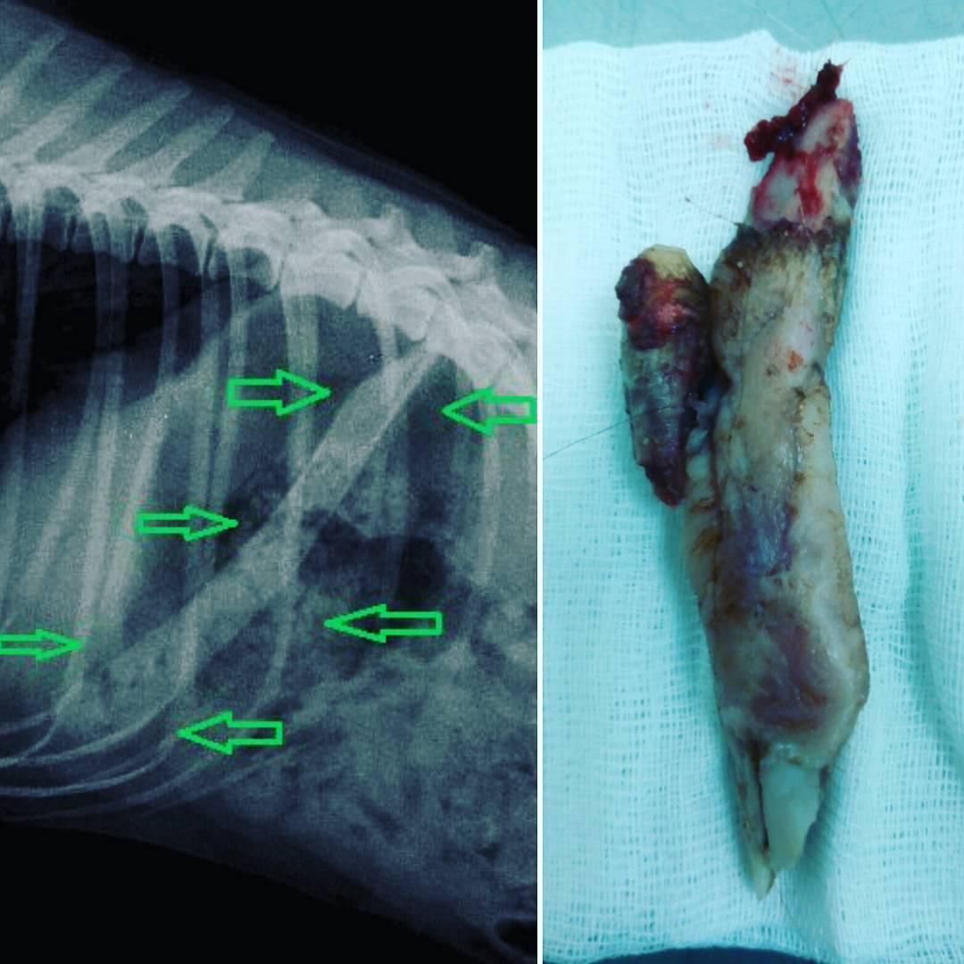 Кусок кости, застрявший в желудке собаки (стрелками на рентгеновском снимке показано его расположение). И этот же кусок кости, уже извлечённый путём оперативного вмешательства.